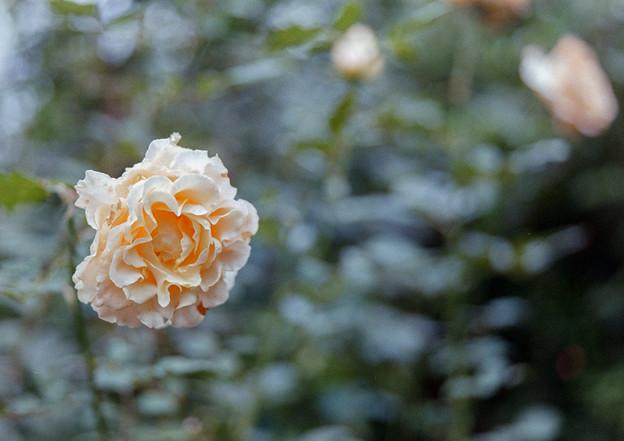 YEG【秋バラ:ラ・カンパネラ】1銀塩