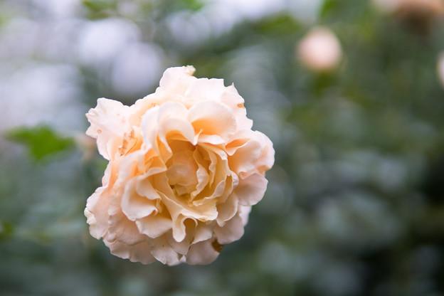 Photos: YEG【秋バラ:ラ・カンパネラ】2