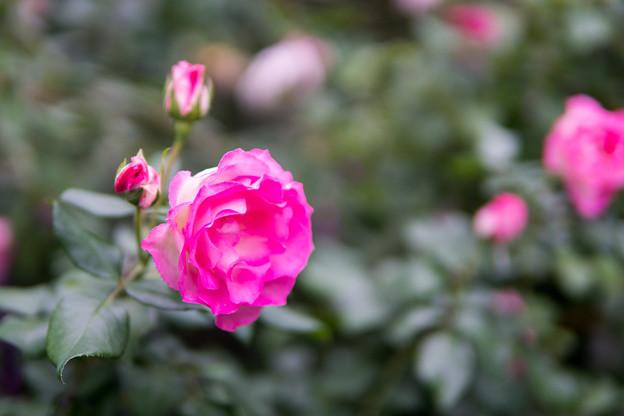 YEG【秋バラ:ストロベリーアイス】