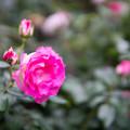 Photos: YEG【秋バラ:ストロベリーアイス】