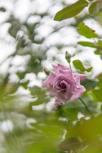 YEG【秋バラ:若紫】1