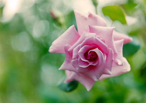 Photos: YEG【秋バラ:若紫】2銀塩