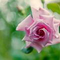 YEG【秋バラ:若紫】2銀塩