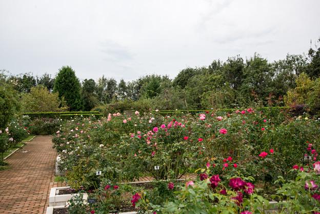 花菜ガーデン【バラ園の全景】3