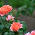 花菜ガーデン【秋バラ:アルブレヒト・デューラー・ローゼ】1