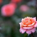 花菜ガーデン【秋バラ:アルブレヒト・デューラー・ローゼ】3
