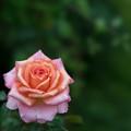 花菜ガーデン【秋バラ:アルブレヒト・デューラー・ローゼ】5