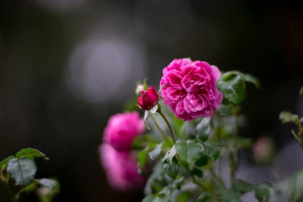 花菜ガーデン【秋バラ:サント・ノーレ】1