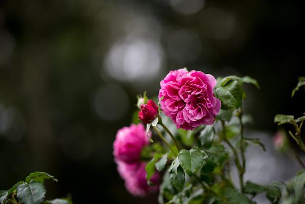 花菜ガーデン【秋バラ:サント・ノーレ】2
