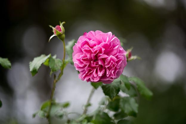 花菜ガーデン【秋バラ:サント・ノーレ】3