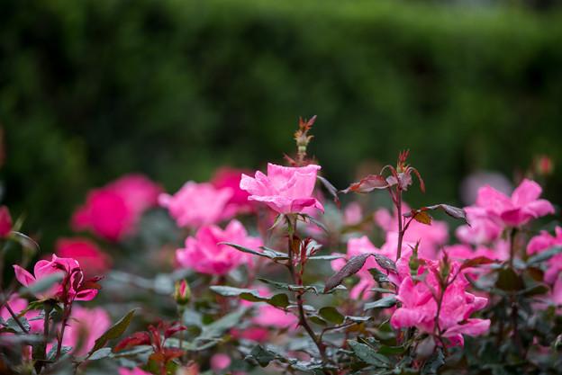 花菜ガーデン【秋バラ:ノックアウト】2