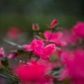 花菜ガーデン【秋バラ:ノックアウト】3