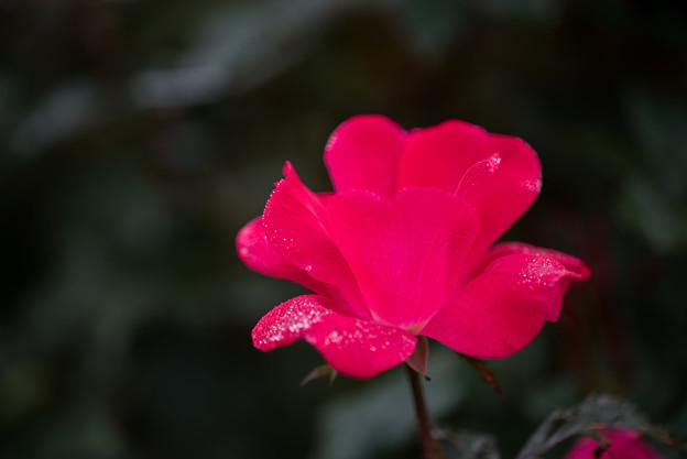 花菜ガーデン【秋バラ:ノックアウト】5
