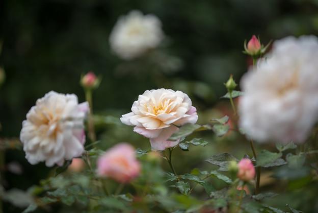 花菜ガーデン【秋バラ:グルス・アン・アーヘン】3