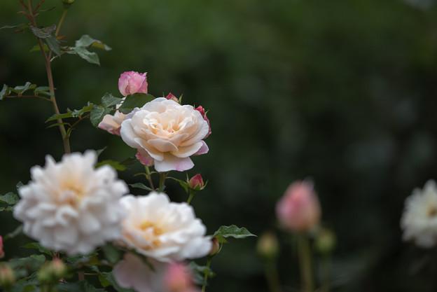 花菜ガーデン【秋バラ:グルス・アン・アーヘン】4