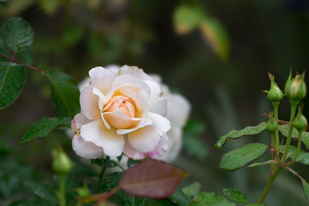 花菜ガーデン【秋バラ:グルス・アン・アーヘン】5