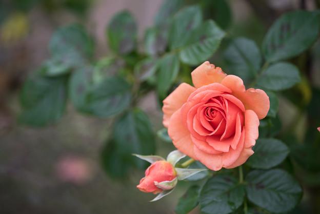 花菜ガーデン【秋バラ:杏奈】2