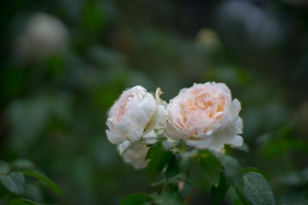 花菜ガーデン【秋バラ:ボレロ】2