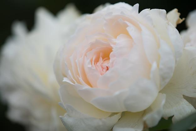 花菜ガーデン【秋バラ:ボレロ】3