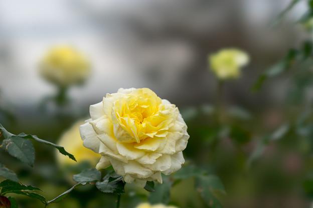 花菜ガーデン【秋バラ:快挙】3