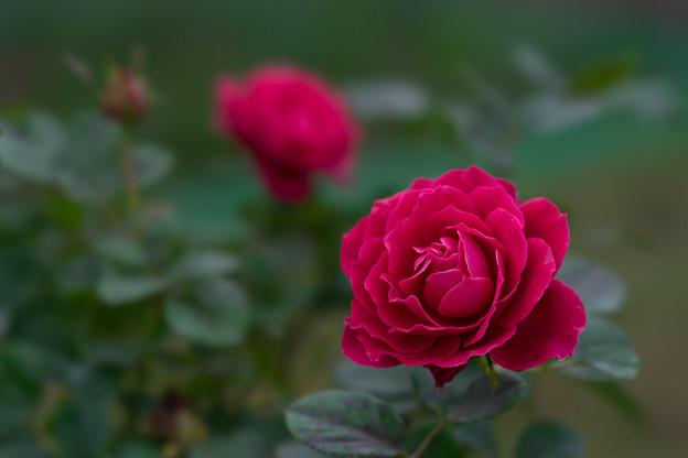 花菜ガーデン【秋バラ:グラマラス・ラッフル】