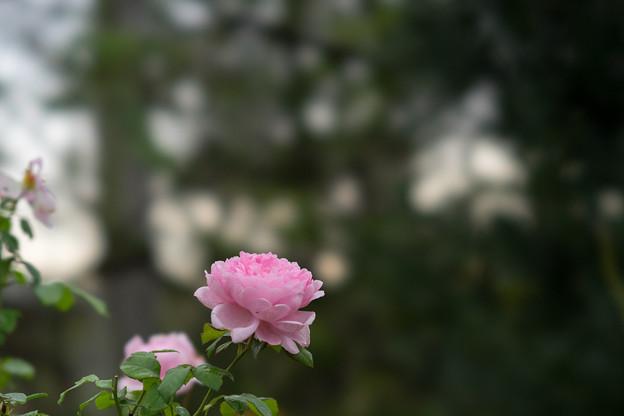 花菜ガーデン【秋バラ:ワイフ・オブ・バス】1