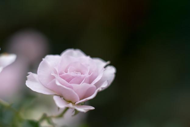 花菜ガーデン【秋バラ:ニュー・ウェーブ】