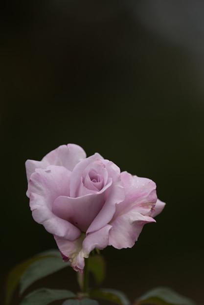 花菜ガーデン【秋バラ:ブルーリボン】1