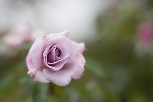 花菜ガーデン【秋バラ:ブルーリボン】2