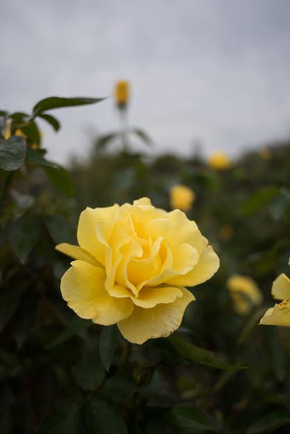 花菜ガーデン【秋バラ:かぐや姫】