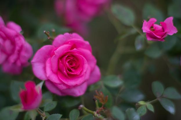 Photos: 花菜ガーデン【秋バラ:うらら】