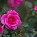 花菜ガーデン【秋バラ:うらら】