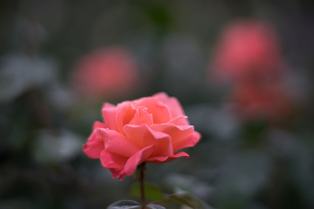 花菜ガーデン【秋バラ:カトリーヌ・ドゥヌーブ】