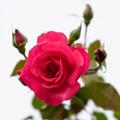 花菜ガーデン【秋バラ:センターステージ】