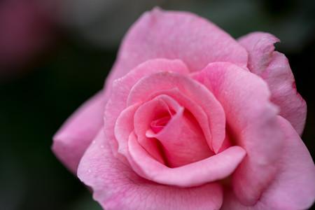 花菜ガーデン【秋バラ:ブライダル・ピンク】