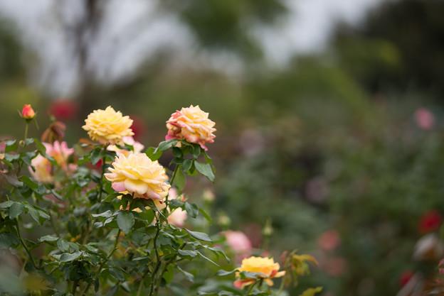 Photos: 花菜ガーデン【秋バラ:トロピカル・シャーベット】