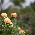 花菜ガーデン【秋バラ:トロピカル・シャーベット】