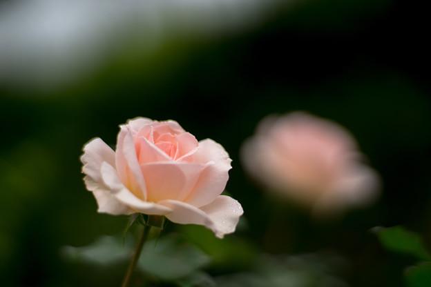 Photos: 花菜ガーデン【秋バラ:ヨハン・シュトラウス】