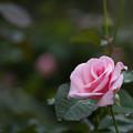 花菜ガーデン【秋バラ:マダム・バタフライ】