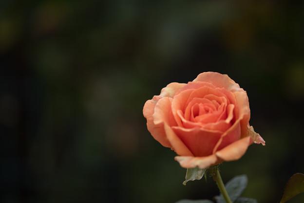 Photos: 花菜ガーデン【秋バラ:アシュラム】