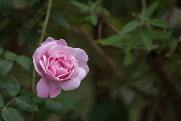 Photos: 花菜ガーデン【秋バラ:ヘルシューレン】