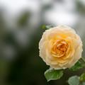 Photos: 花菜ガーデン【秋バラ:センチメンタル・ハーニー】