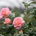 Photos: 花菜ガーデン【秋バラ:エル】