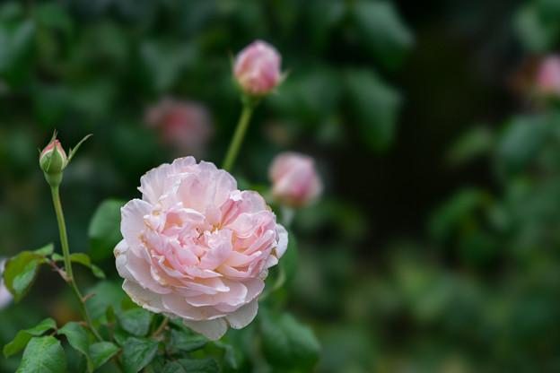 花菜ガーデン【秋バラ:シャリファ・アスマ】