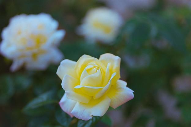 生田緑地ばら苑【秋バラ:ピース】1銀塩