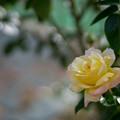Photos: 生田緑地ばら苑【秋バラ:ピース】2