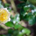 Photos: 生田緑地ばら苑【秋バラ:ピース】3