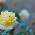 Photos: 生田緑地ばら苑【秋バラ:ピース】5銀塩
