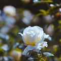 生田緑地ばら苑【秋バラ:ガーデン・パーティ】銀塩