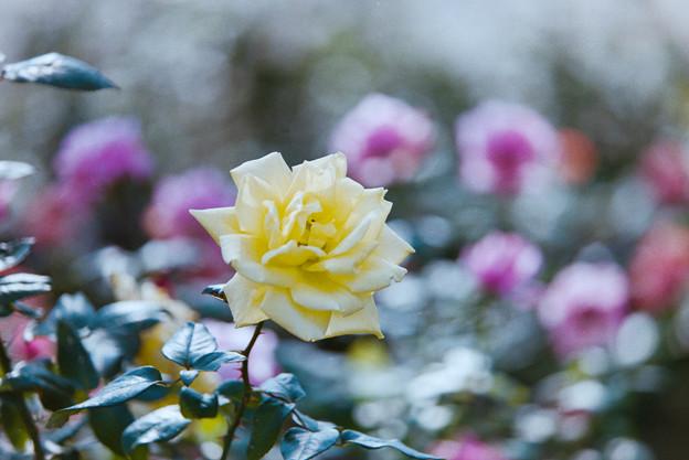 生田緑地ばら苑【秋バラ:サマーサンシャイン】銀塩